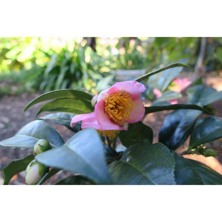 Camellia Robiraki Summer Beauty