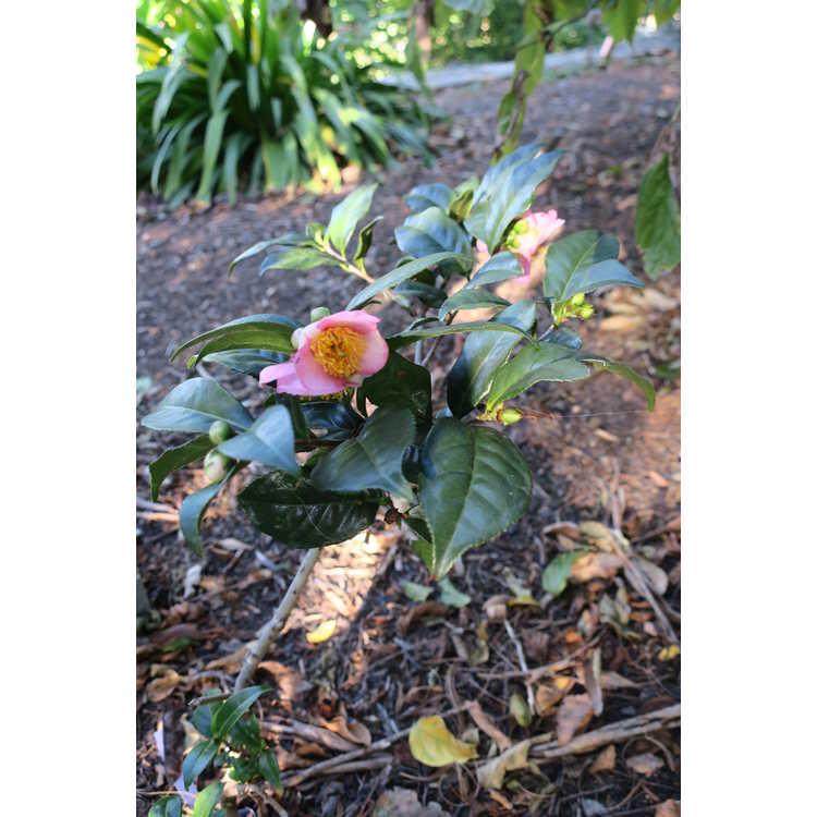 Camellia 'Robiraki'