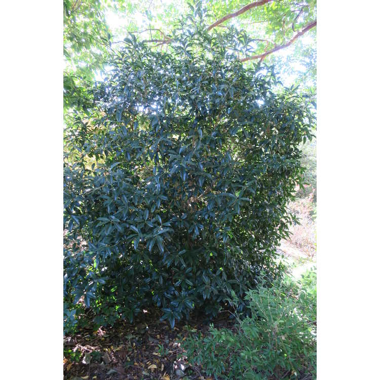 Osmanthus fragrans f. aurantiacus 'Orange Supreme' - orange sweet-olive