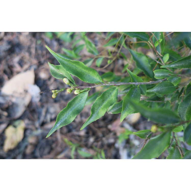 Camellia elongata