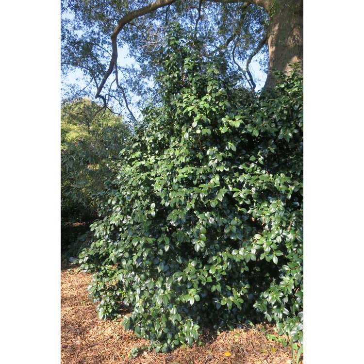 Camellia 'Winter's Star' - Ackerman hybrid camellia
