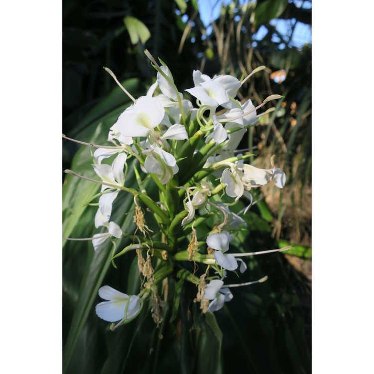 Hedychium gardnerianum Extenda