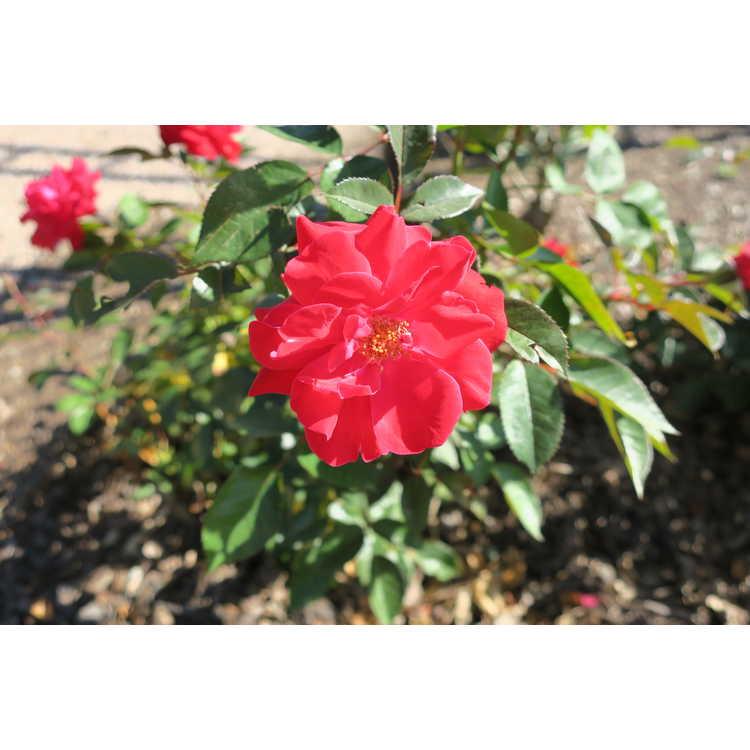 Rosa 'Baiark'