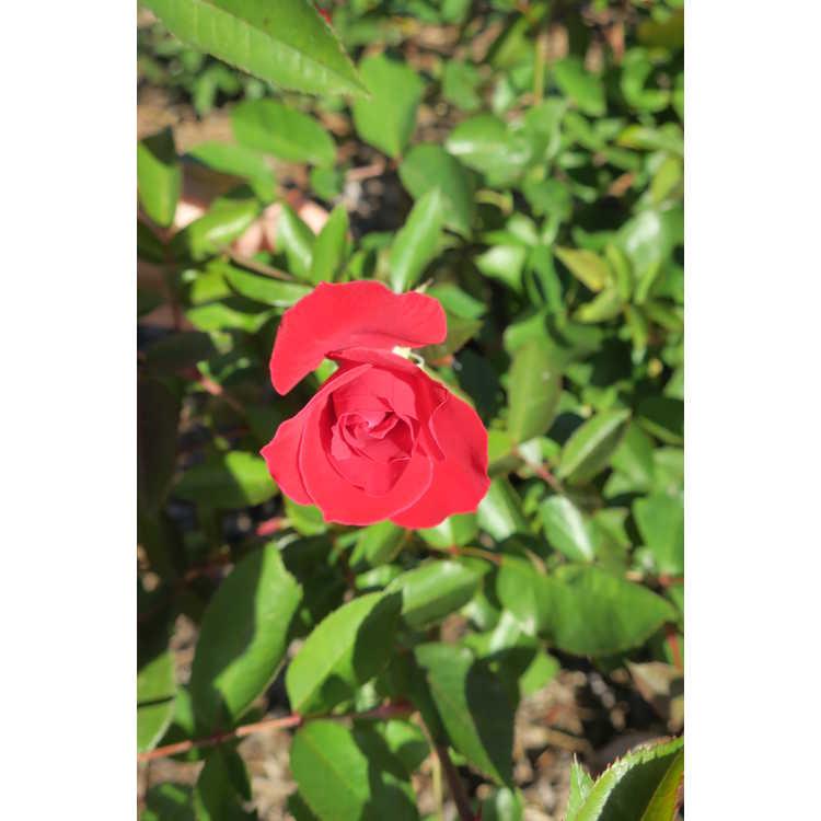Rosa 'Baiark' - Easy Elegance Como Park shrub rose