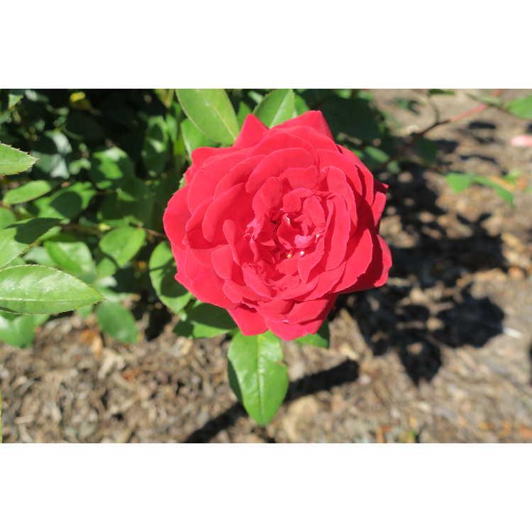 Rosa 'Baimir' - Easy Elegance Kashmir shrub rose