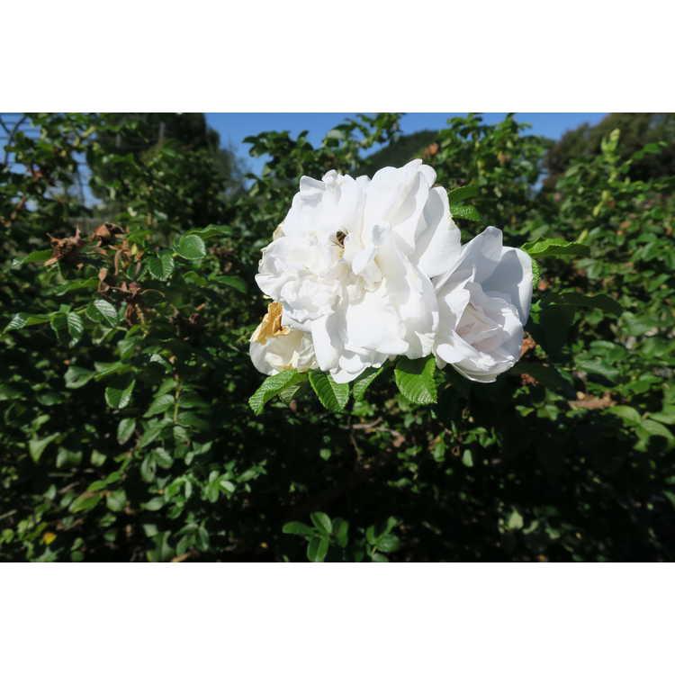 Rosa 'Blanc Double de Courbet' - shrub rose