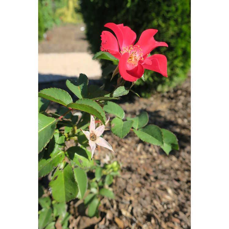 Rosa 'Baineon' - Easy Elegance Screaming Neon Red shrub rose