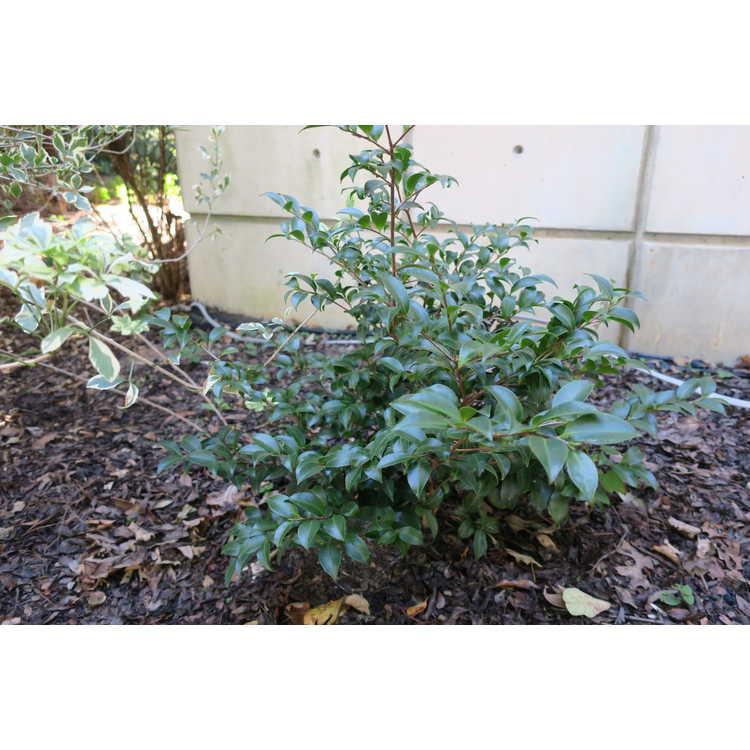 Camellia sasanqua 'Green02-003'