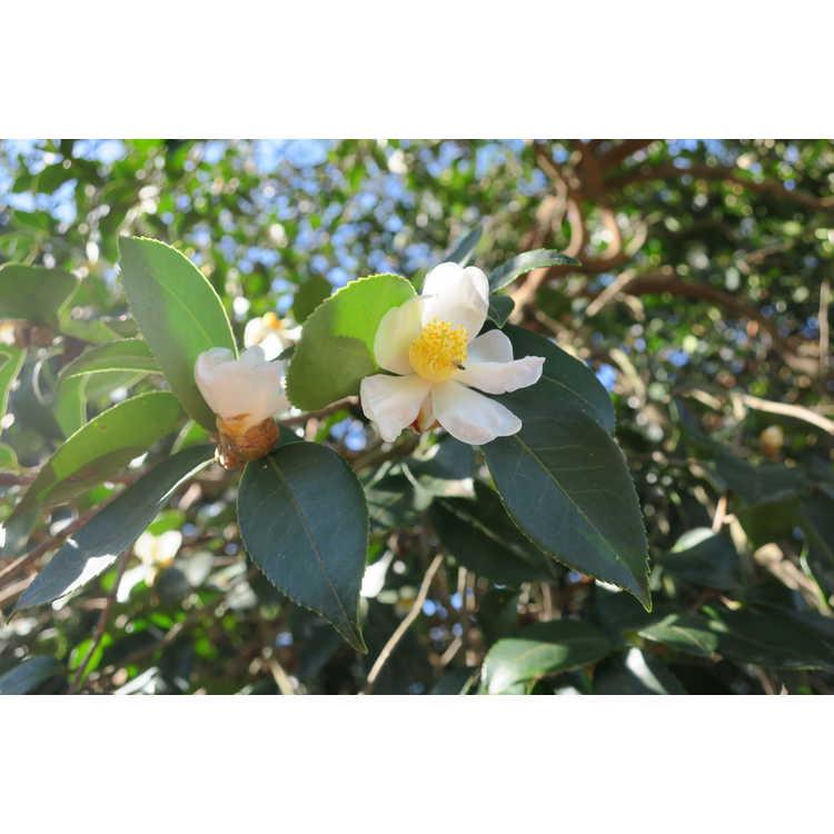 Camellia oleifera - tea-oil camellia