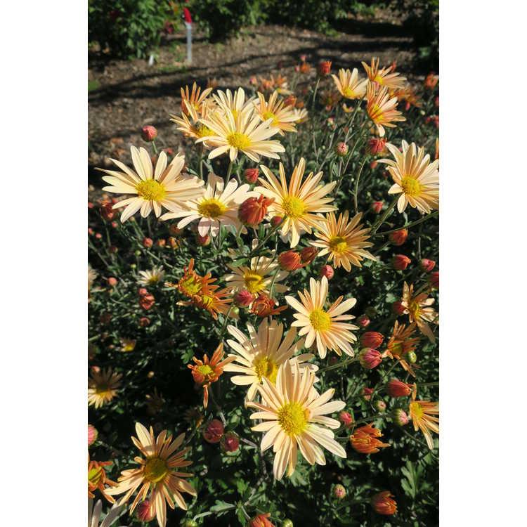 Chrysanthemum 'Brandywine Sunset' - hardy chrysanthemum