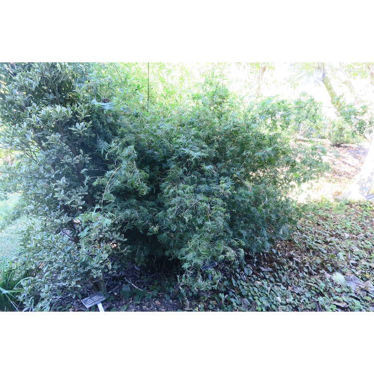 Bambusa multiplex 'Fernleaf' - dwarf clumping fernleaf bamboo