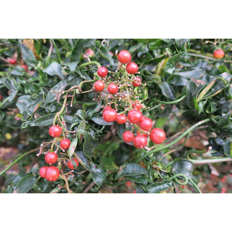 Nandina domestica (twisted leaf) - heavenly bamboo
