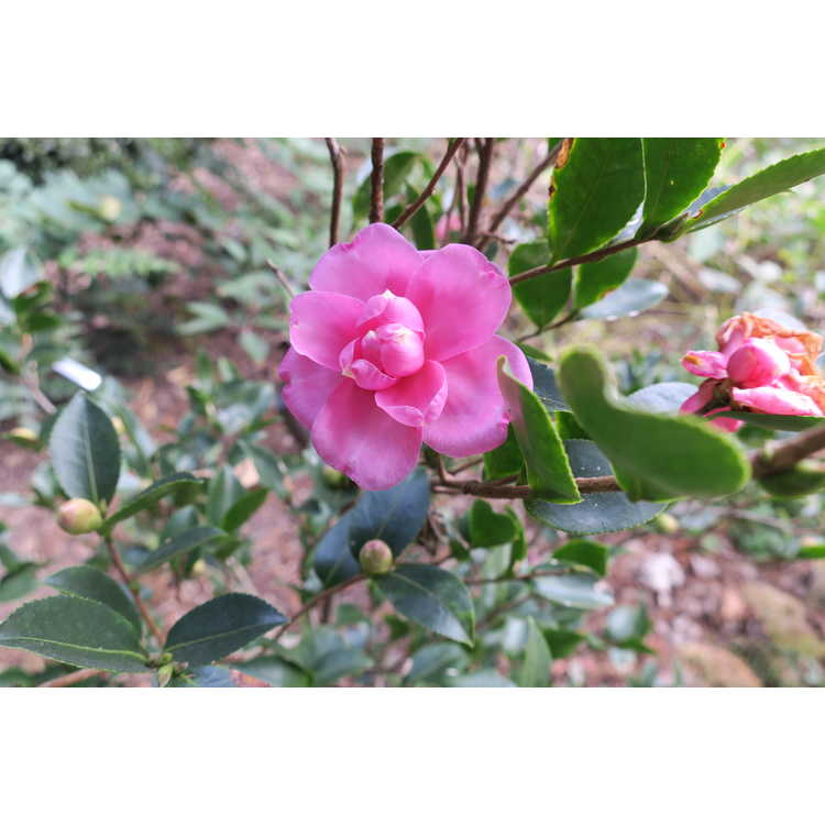 Camellia sasanqua 'Green 99-031' - Susy Dirr fall blooming camellia