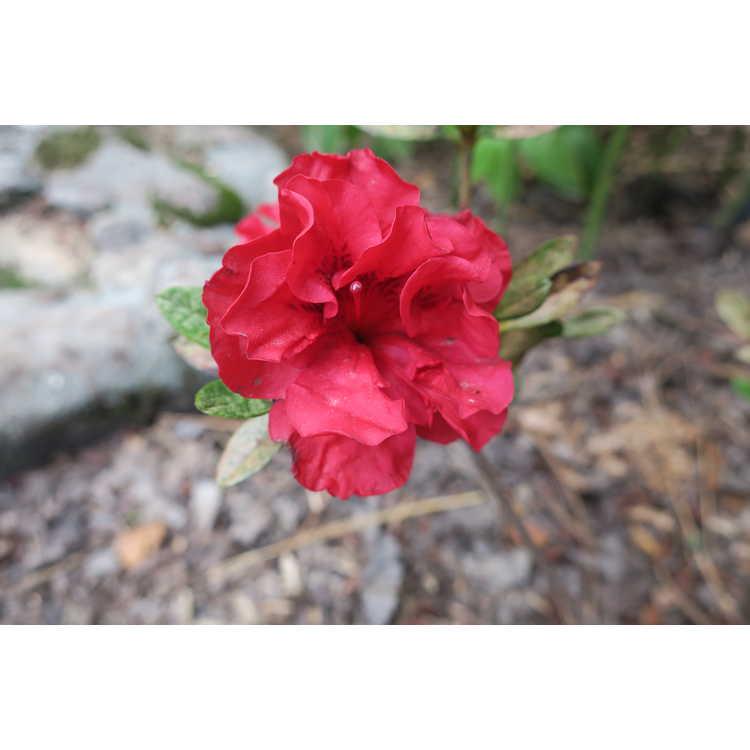 Rhododendron Roblez Autumn Fire