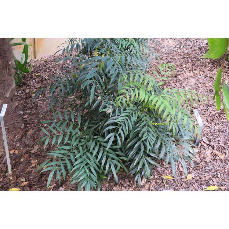 Mahonia eurybracteata 'Narihira' - narrowleaf mahonia