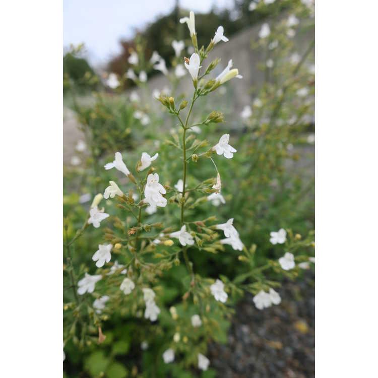 Clinopodium nepeta subsp. glandulosum 'White Cloud' - lesser catmint