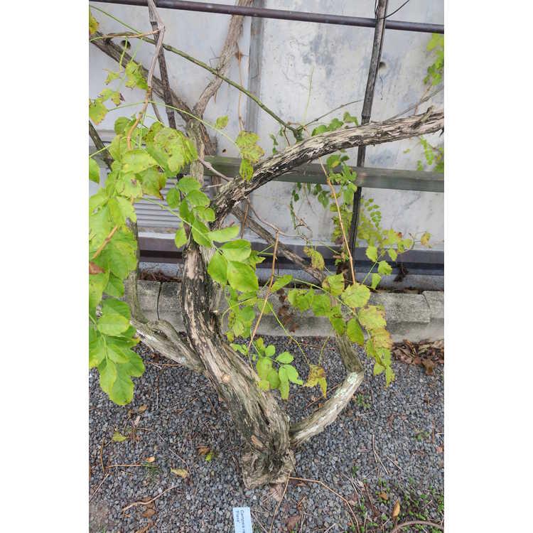 Campsis radicans 'Flava' - trumpet vine
