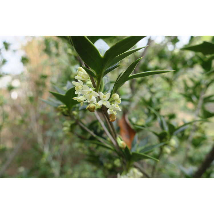 Osmanthus heterophyllus (upright 'Sasaba')