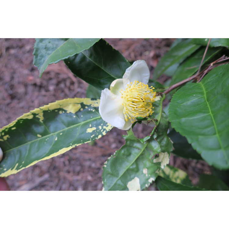 Camellia sinensis 'O. Kuntze'