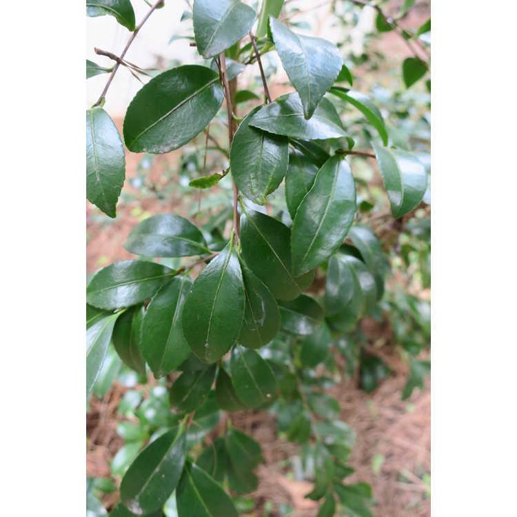 Camellia sasanqua 'Seventh Desire'