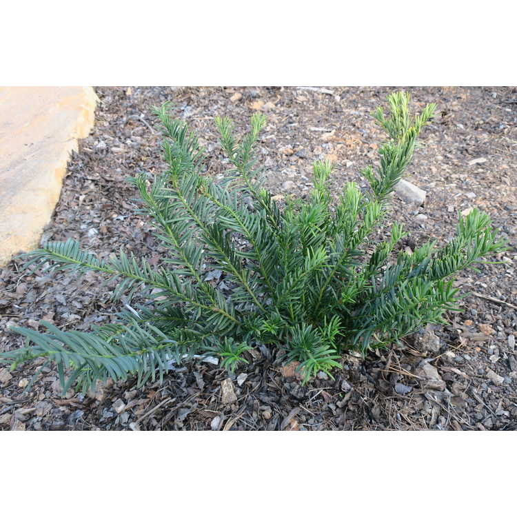 Jc raulston arboretum our plants search results for Cephalotaxus harringtonia duke gardens