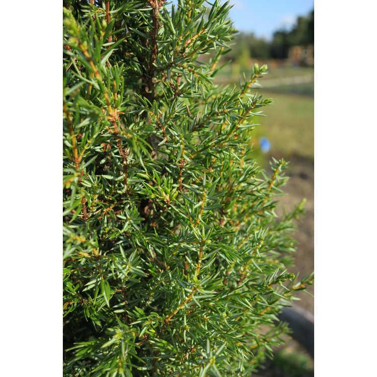 Juniperus communis 'Gold Cone' - gold-column common juniper