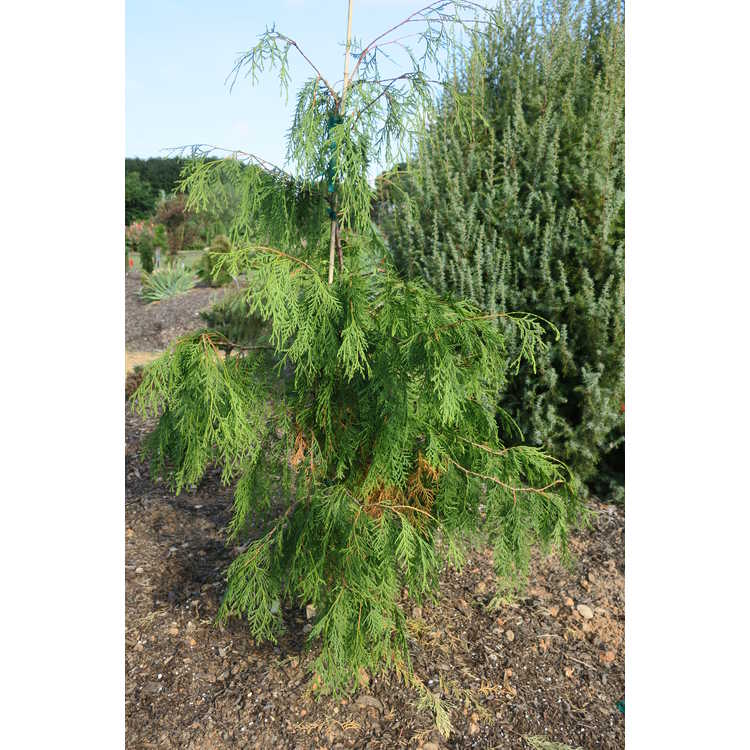 Thuja occidentalis 'Quebec Weeping'