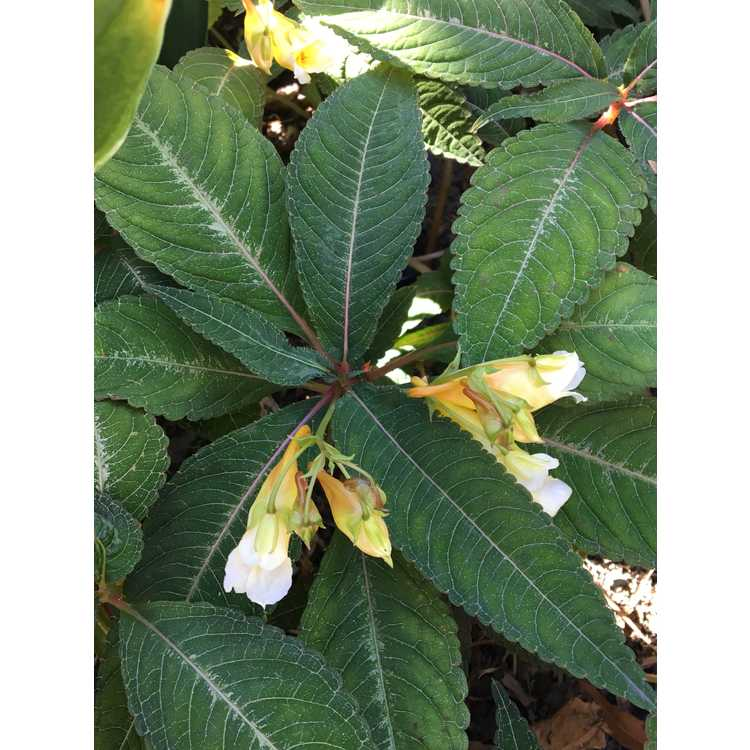 Impatiens omeiana Silver Pink