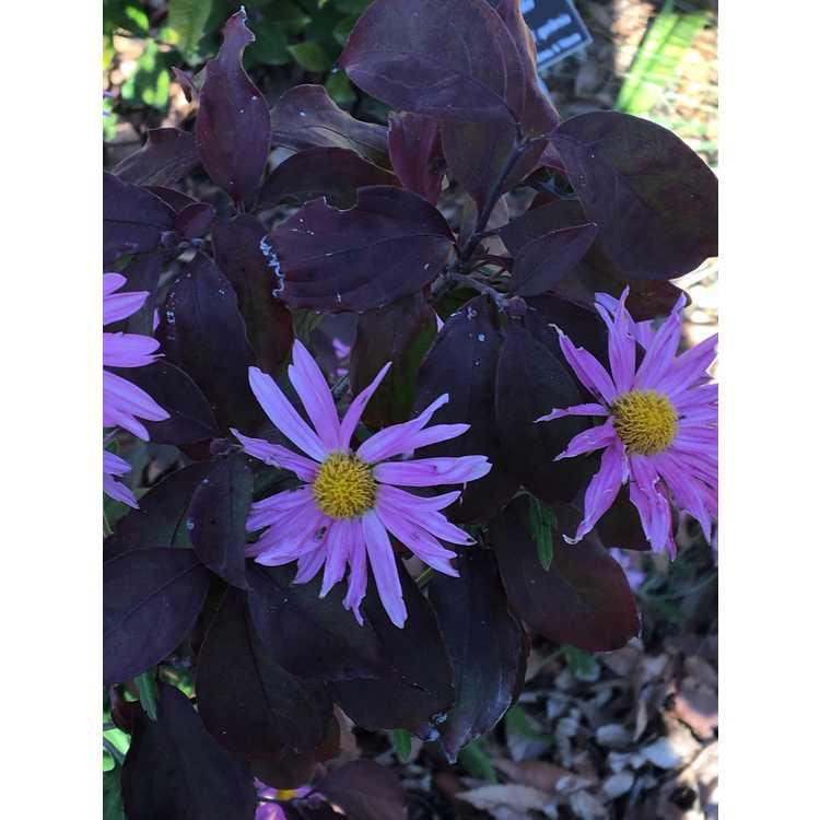 Chrysanthemum Miss Glorias Thanksgiving Day
