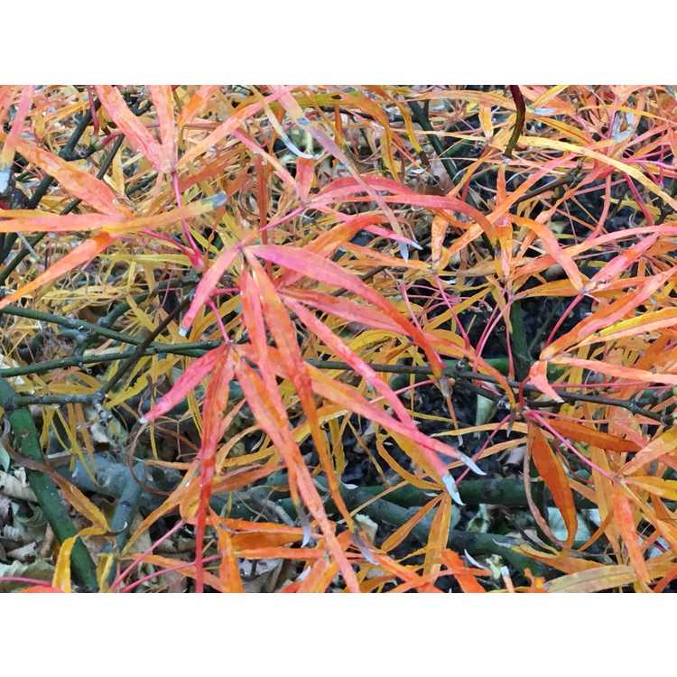 Acer palmatum 'Linearilobum' - green narrowleaf Japanese maple