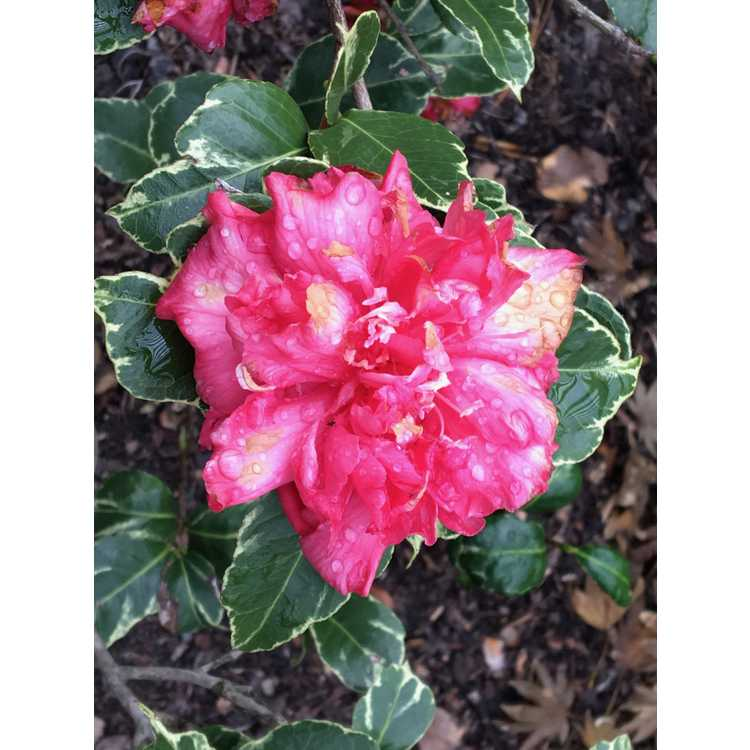 Camellia japonica Fuiri Benten