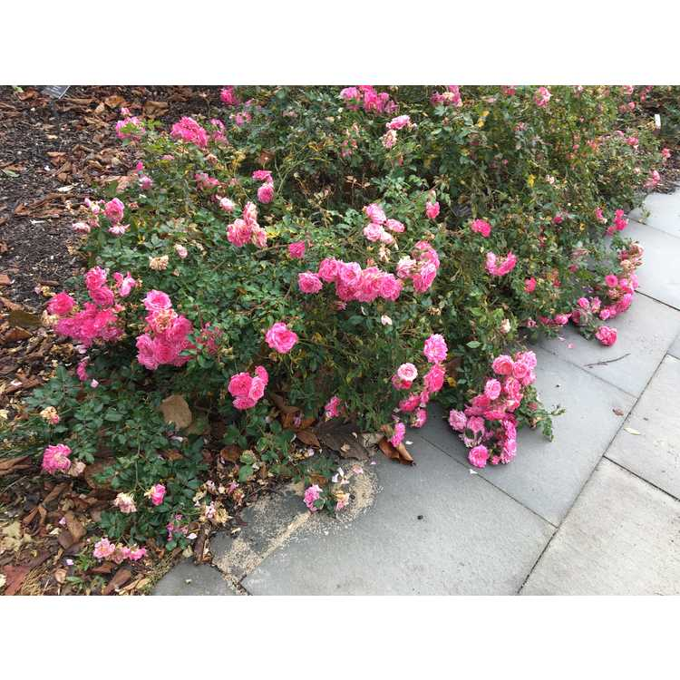 Rosa 'Meiswetdom' - Sweet Drift ground cover rose