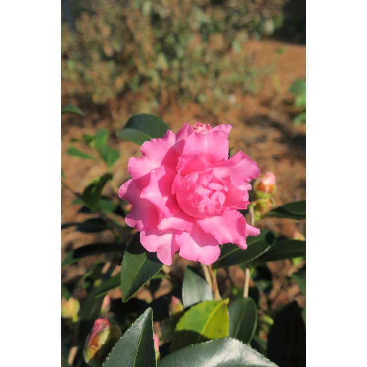 Camellia sasanqua Green 01-006 October Magic Carpet