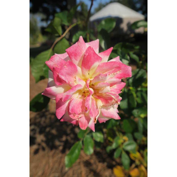 Rosa 'Baibox' - Easy Elegance Music Box shrub rose
