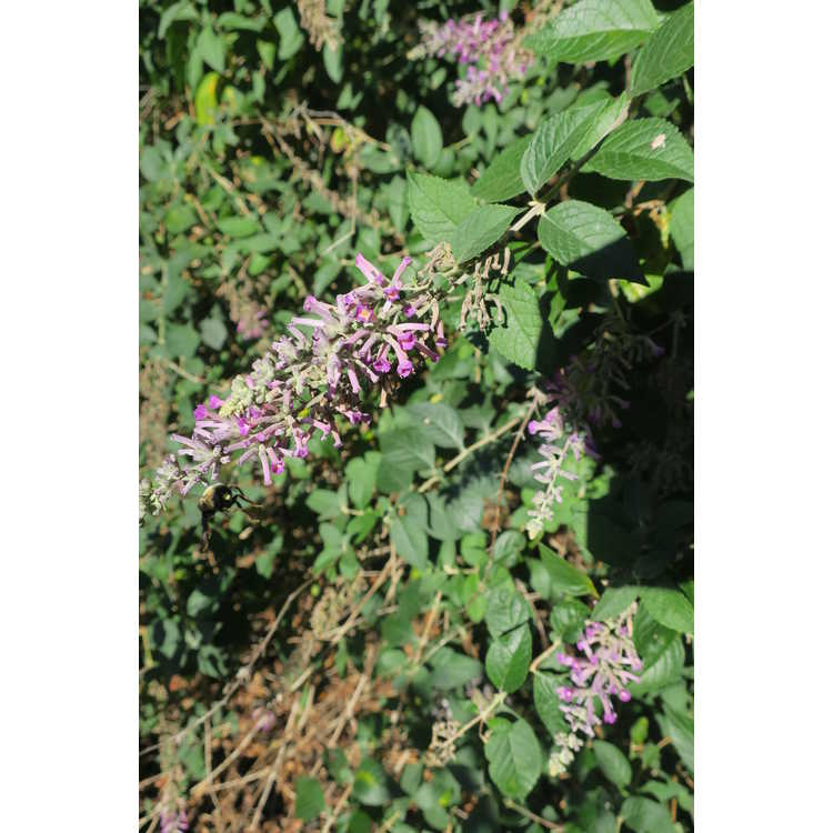 Buddleja 'Violet Eyes' - butterfly-bush