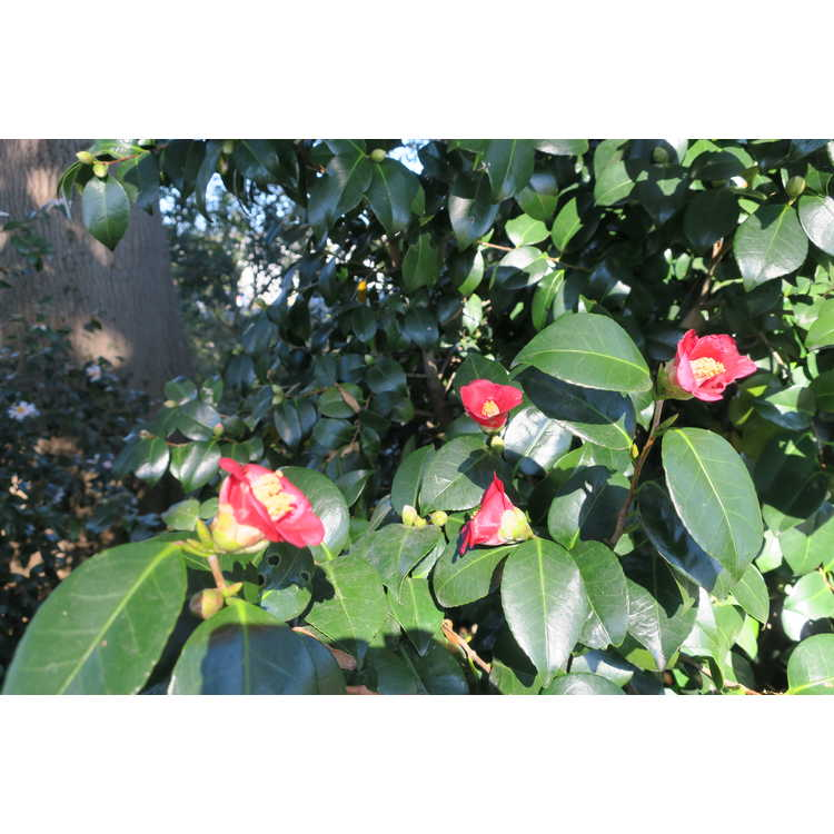 Camellia Winters Star