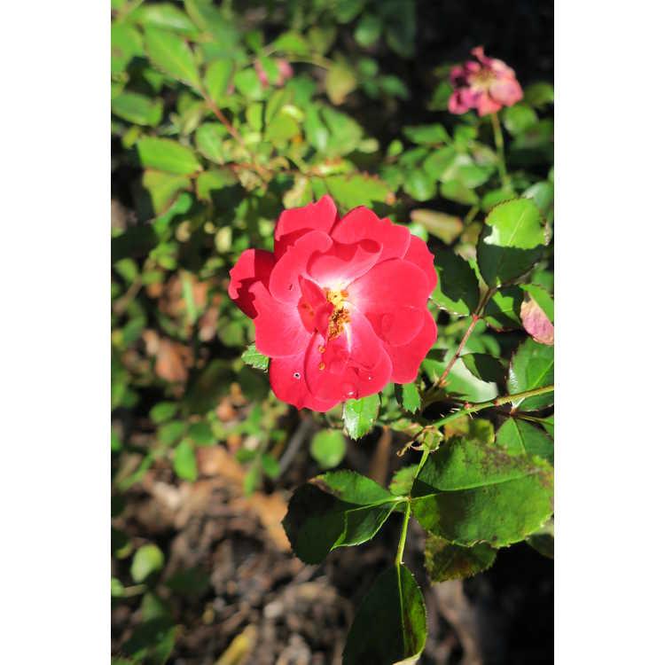 Rosa 'Baifairy' - Easy Elegance Mystic Fairy shrub rose