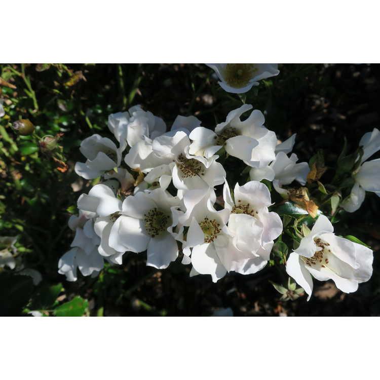 Rosa - Look-A-Likes Apple Dapple shrub rose