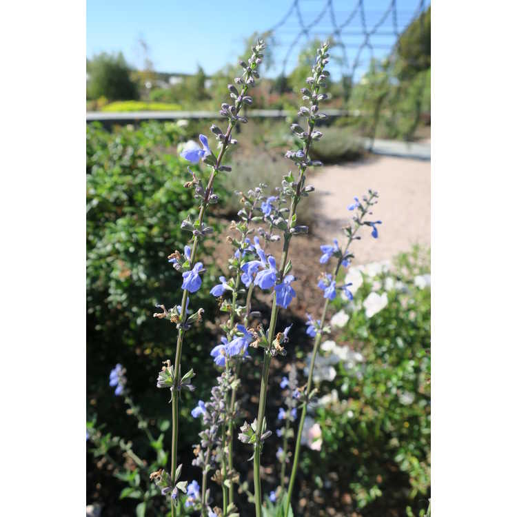 Salvia pallida - pale sage