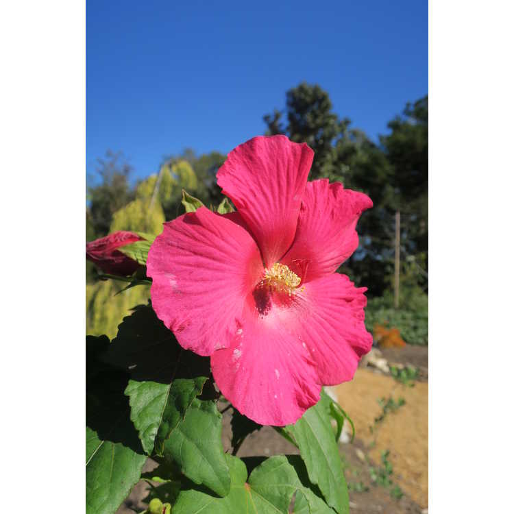 Hibiscus 'Happa Red'