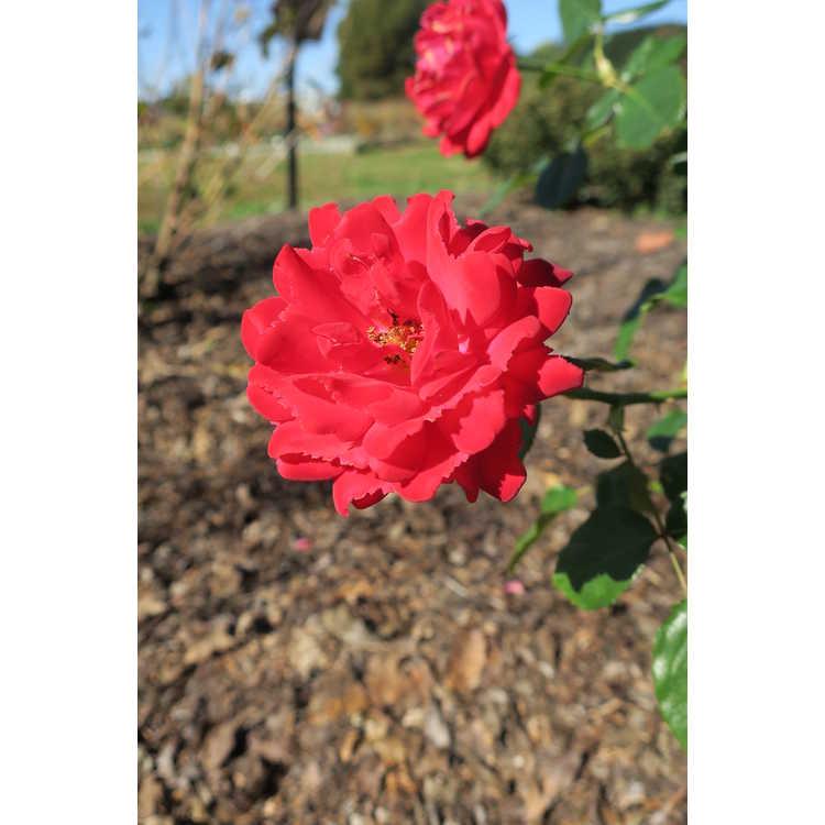 Rosa 'Baisuhe' - Easy Elegance Super Hero shrub rose