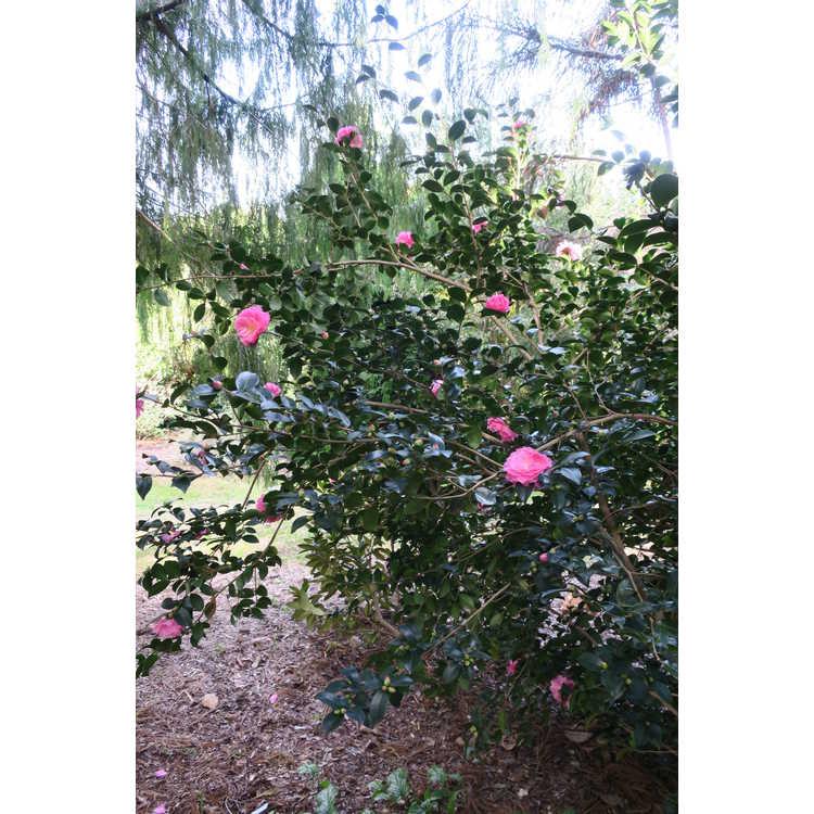 Camellia ×hiemalis 'Rose of Autumn' - hybrid camellia
