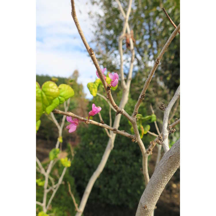 Cercis chinensis contorted