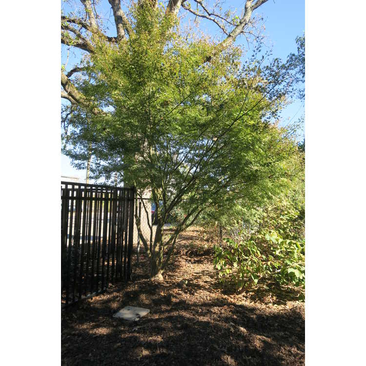 Acer palmatum 'Ao kanzashi' - variegated Japanese maple