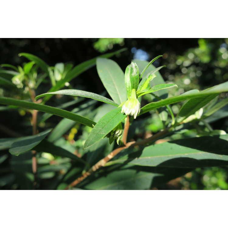 Edgeworthia papyrifera 'Eco Yaku' - Japanese paperbush