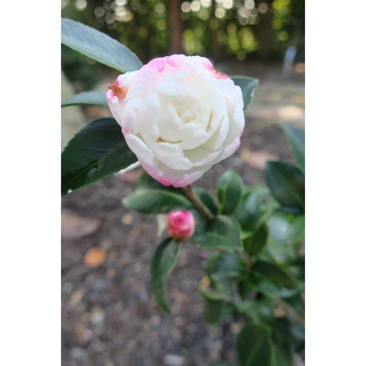Camellia sasanqua Fuji-no-yuki