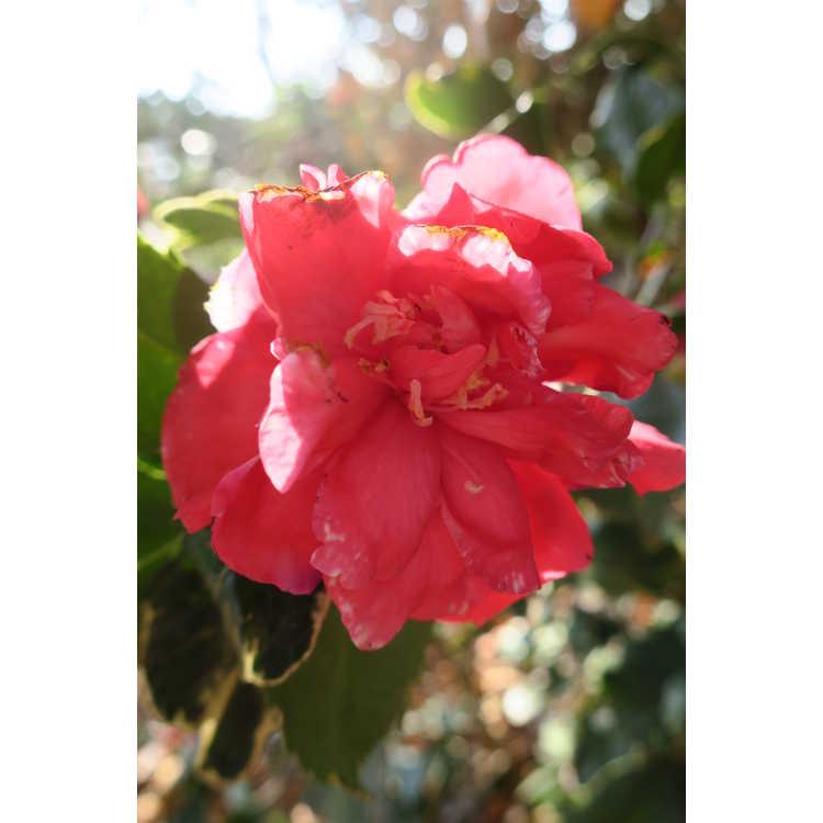 Camellia japonica Benten Kagura