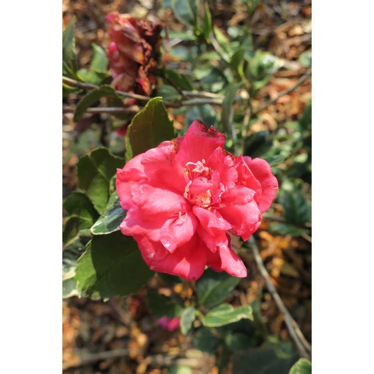 Camellia japonica 'Benten Kagura' - variegated Japanese camellia
