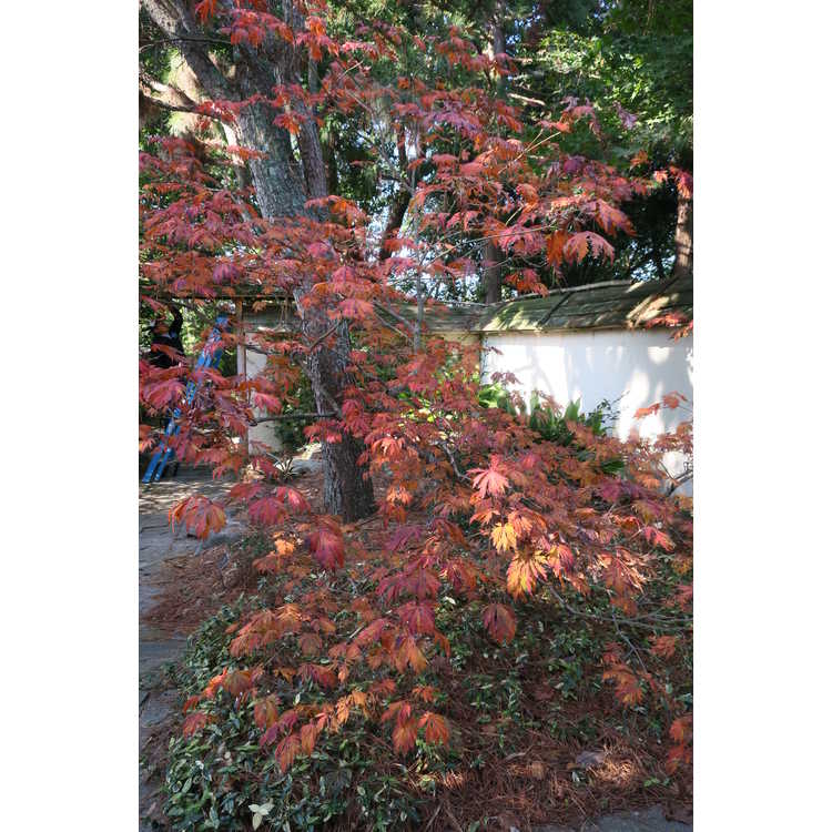 Acer japonicum 'Aconitifolium' - cut-leaf full moon maple