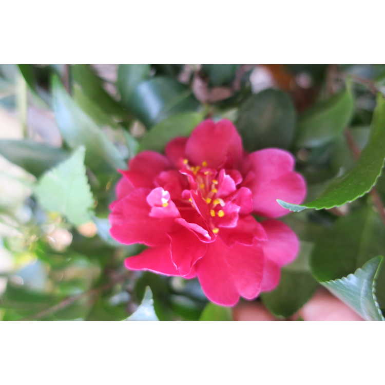 Camellia sasanqua Green02-003 October Magic Ruby
